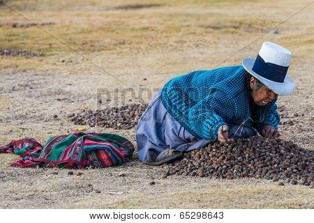 CHINCHEROS, PERU - JULY 23, 2013: woman peasant collecting moraya