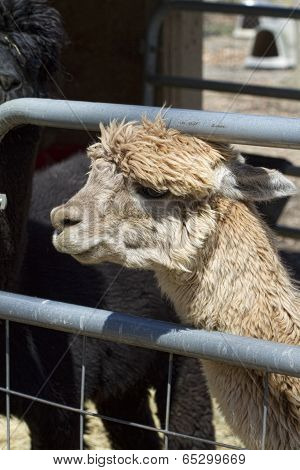 Caged Peruvian Alpaca - Vicugna pacos