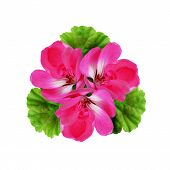 picture of geranium  - Geranium flowers composition isolated on a white background - JPG