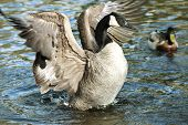 picture of spread wings  - Canadian Goose standing in water spreading wings.