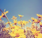 picture of hay fever  -  a bunch of pretty balsamroot flowers done with a soft vintage instagram like effect filter  - JPG