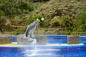 stock photo of grampus  - Dolphins show - JPG