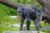 foto of omnivore  - Common Chimpanzee with her child in the wild - JPG