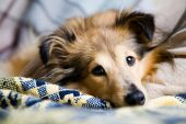 stock photo of cute dog  - Sheltie laying down on living room couch - JPG