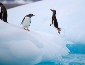 stock photo of iceberg  - Gentoo Penguin Torpedoing out of water onto iceberg in Antarctic waters - JPG