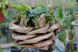 foto of nepenthes-mirabilis  - This is a pitcher plant or monkey cups  - JPG