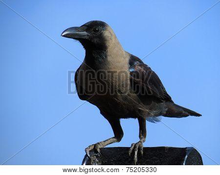 Closeup portrait of perched House Crow