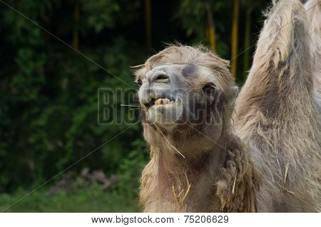 Camel Eating Grass