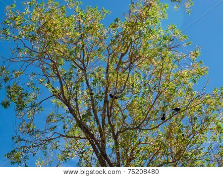 Three Black Birds In A Green Tree