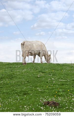 Lone Cow Feeding On The Green Grass