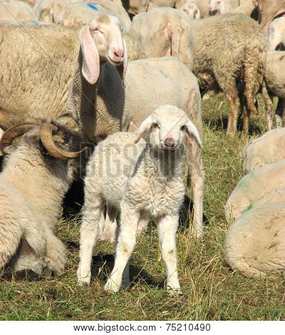 Young Lamb In The Midst Of The Large Flock Of Sheep And Goats