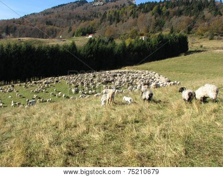 Immense Flock Of Sheep And Goats Grazing In The Mountains