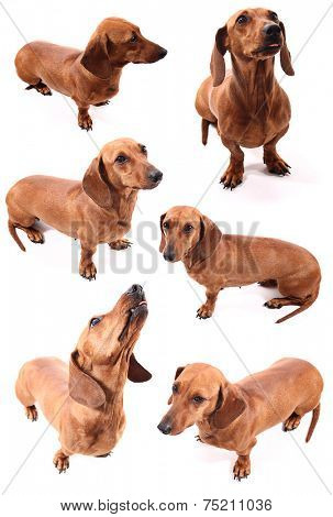 A group of isolated dog poses (dachshund) on a white background.
