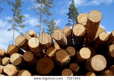 Cut Pine Logs In Forest