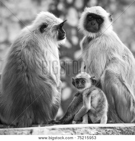Gray langurs with babies sitting at the temple, India. Black and white photo