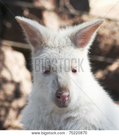 A Close Portrait Of An Albino Wallaby