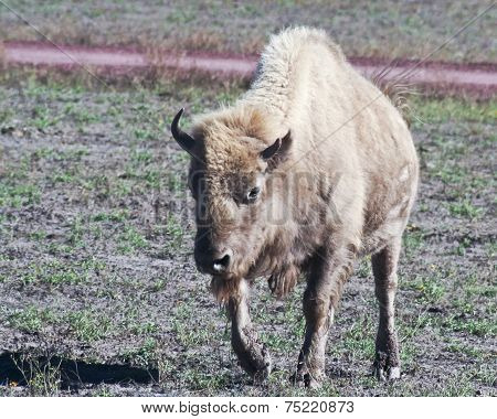 A Portrait Of A White Buffalo, Bison Bison