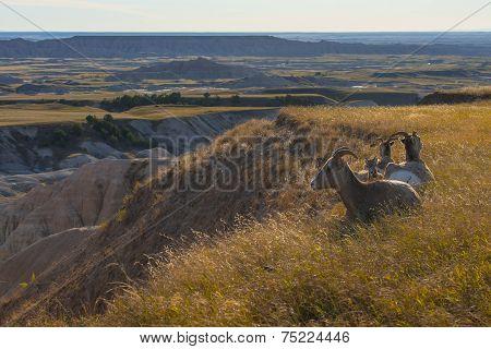 Bighorn Sheep At Rest Badlands National Park