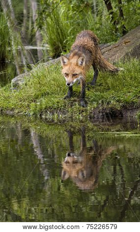 Red Fox with Clear Reflection in Lake
