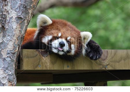 Red Panda Sleeping with Tongue Out