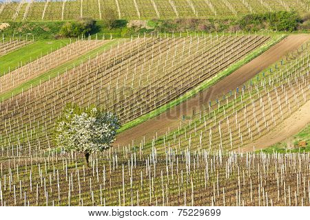 spring vineyards, Southern Moravia, Czech Republic