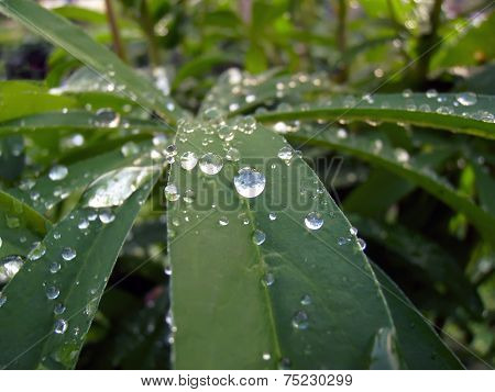Drops on Leaves of Lupin.
