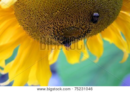 Flower Of Sunflower With Bees