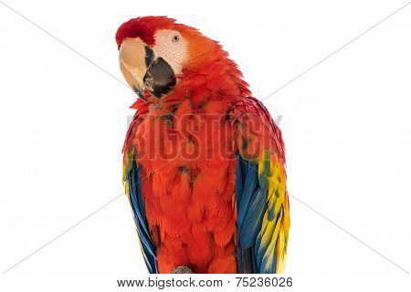 Scarlet macaw, isolated