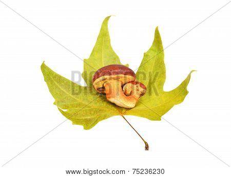 Boletus edulis mushroom on fall leaf