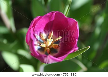 Stock Image Of Tulip