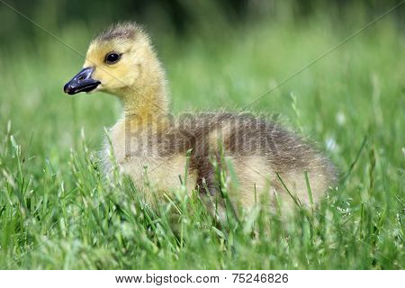 Gosling Sitting in the Grass