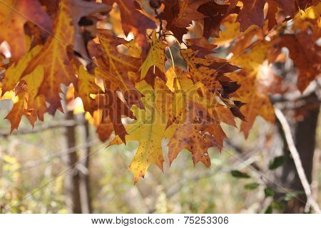 Oak Leaves Just Starting to change color in fall