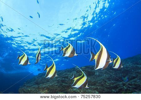 Moorish Idol fish on coral reef underwater