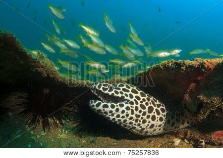 Honeycomb Moray Eel and Snapper fish