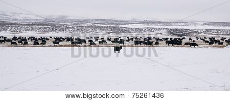 Blank Angus Cattle Brave the Cold Snow