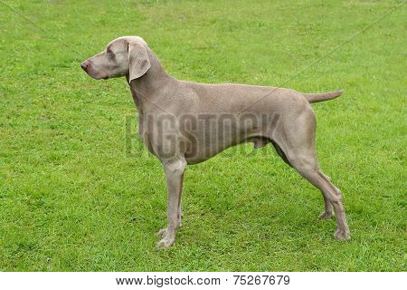 Typical Weimaraner Short-haired Dog