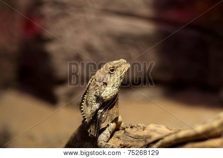 Head Of Frill-necked Lizard