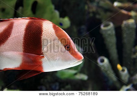 Red And White Striped Fish