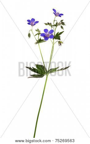 wild plant with blue flowers isolated on white background