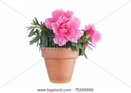 Blossoming pink azalea in a flowerpot