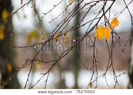 Branches Of Birch With Ear Rings In Raindrops In Late Autumn.
