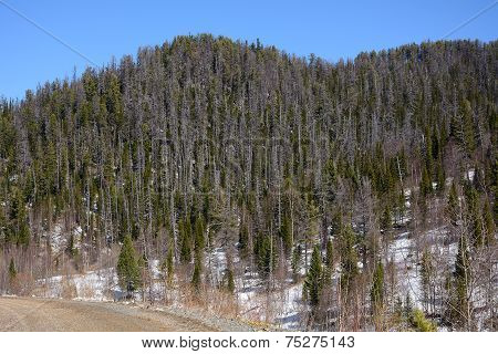 Mountain Slopes Covered With Siberian Taiga