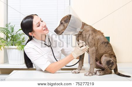 Veterinarian listens stethoscope pitbull puppy in a protective collar