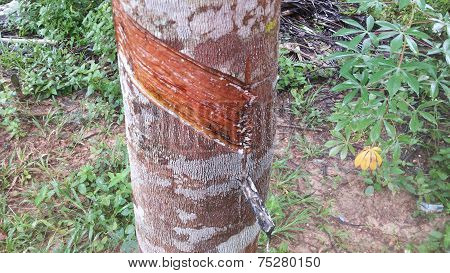 Tree rubber