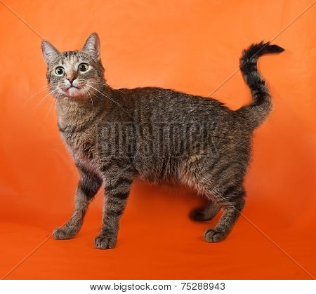 Tricolor Striped Cat Standing On Orange