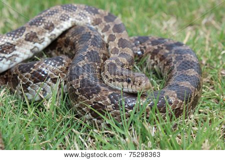 Prairie Kingsnake in grass