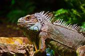 foto of terrarium  - Big iguana lizard in terrarium  - JPG