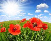 picture of opium  - Red poppy in green wheat field  - JPG