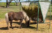 picture of horses eating  - A Brown Shetland Pony Eating Hay out of a Horse Feeder