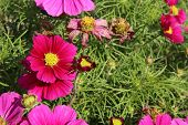 pic of cosmos  - Garden cosmos or Mexican aster (Cosmos bipinnatus) in the Garden ** Note: Shallow depth of field - JPG